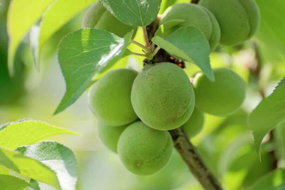 Umeshu: The Japanese Plum Liqueur