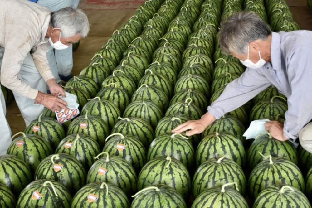 Crazy Shaped Watermelons, the secrets of the Japanese luxurious fruit